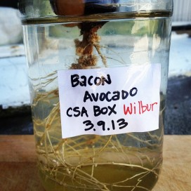 He's a bacon avocado, thus the little piggy name.