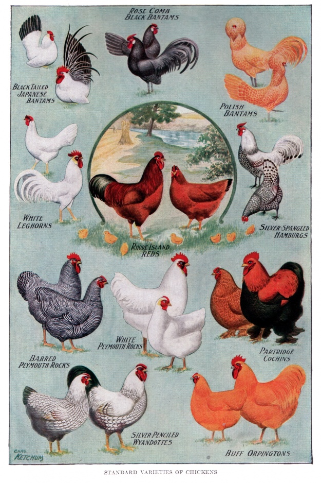 chicken-breeds-vintage-poster