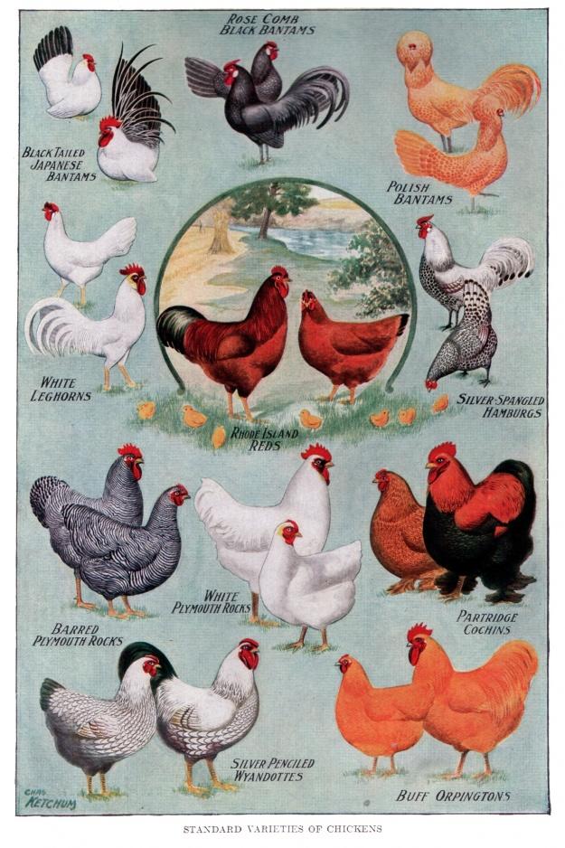 chicken-breeds-vintage-poster
