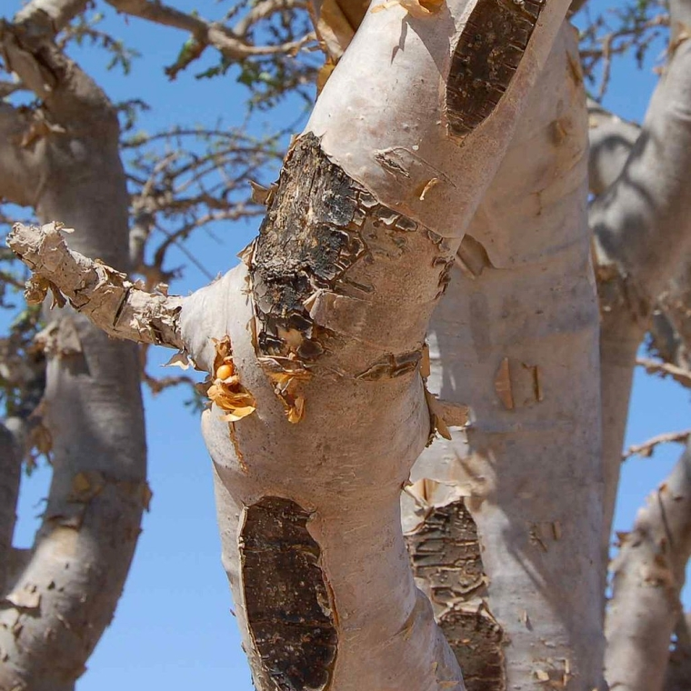 Frankincense tree bark
